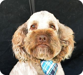 Poodle (Miniature) Dog for adoption in Plano, Texas - Marty