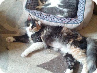 Domestic Longhair Kitten for adoption in london, Ontario - Beauty