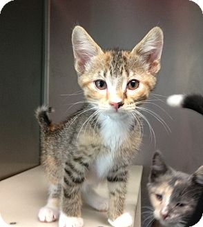 Domestic Shorthair Kitten for adoption in South Haven, Michigan - Nelly