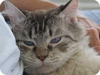 Ragdoll Cat for adoption in Fort Myers, Florida - Remy