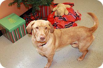 Dachshund/Labrador Retriever Mix Dog for adoption in Hibbing, Minnesota - LULU