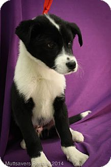 Border Collie Mix Puppy for adoption in Broomfield, Colorado - Ocean