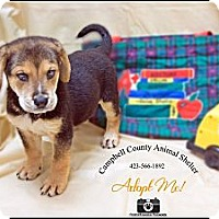 Adopt A Pet :: Puppy - Jacksboro, TN