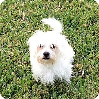 Maltese Mix Dog for adoption in Tomball, Texas - Fluffy