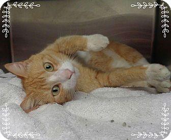 Domestic Shorthair Cat for adoption in Marietta, Georgia - MACK