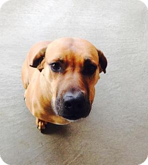Rhodesian Ridgeback/Labrador Retriever Mix Dog for adoption in Redmond, Oregon - Lily