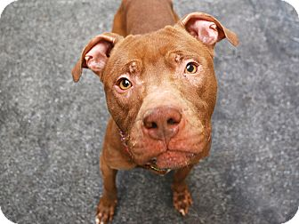 Pit Bull Terrier Mix Dog for adoption in Boston, Massachusetts - MIGO