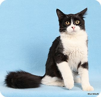 Domestic Mediumhair Cat for adoption in Las Vegas, Nevada - Detroit
