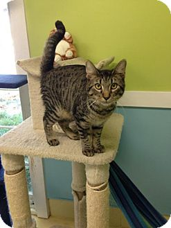 Domestic Shorthair Cat for adoption in Newburgh, Indiana - Bear