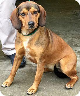 Beagle/Spaniel (Unknown Type) Mix Dog for adoption in Minneapolis, Minnesota - Eliza