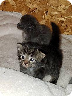 Domestic Shorthair Kitten for adoption in Huntley, Illinois - Ravioli of Kiki's Sweeties