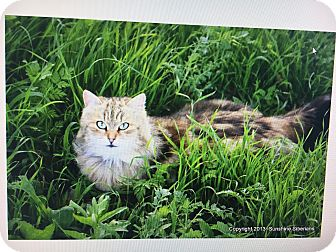 Siberian Cat for adoption in Clovis, New Mexico - *Lily*