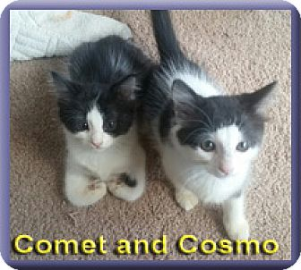 Domestic Mediumhair Kitten for adoption in Aldie, Virginia - Comet and Cosmo