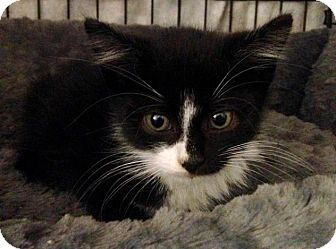 Domestic Shorthair Kitten for adoption in River Edge, New Jersey - Macavity