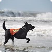 Adopt A Pet :: Traveler - Purcellville, VA