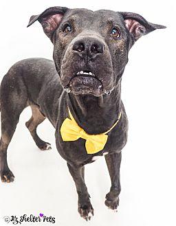 Shar Pei/Labrador Retriever Mix Dog for adoption in Phoenix, Arizona - BG