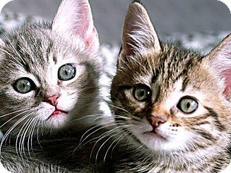 Domestic Shorthair Kitten for adoption in Virginia Beach, Virginia - Briana and Britany