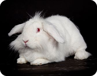 Lop, Holland for adoption in Kingston, Ontario - Ruby
