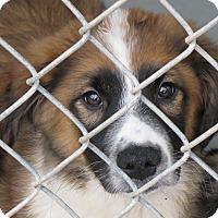 Adopt A Pet :: Burrito - South Dennis, MA
