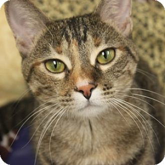 Domestic Shorthair Cat for adoption in Naperville, Illinois - Wednesday