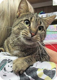 Domestic Shorthair Cat for adoption in Reeds Spring, Missouri - Haley