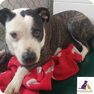 Pit Bull Terrier Mix Dog for adoption in Eighty Four, Pennsylvania - Sally
