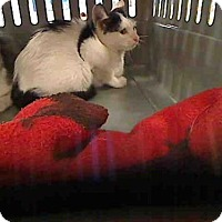 Domestic Mediumhair Kitten for adoption in Rancho Cucamonga, California - ETTA