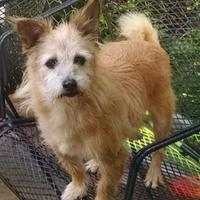 Cairn Terrier Mix Dog for adoption in Irmo, South Carolina - Teddy