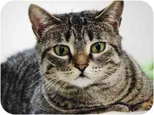 Domestic Shorthair Cat for adoption in Norwalk, Connecticut - Franny