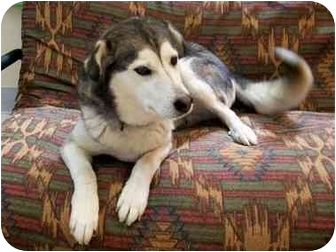 Husky Mix Dog for adoption in Little Falls, Minnesota - Buddy