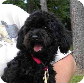 Poodle (Toy or Tea Cup) Puppy for adoption in Washington, North Carolina - Bella