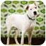 Photo 1 - Boxer Mix Dog for adoption in Portland, Oregon - Gus