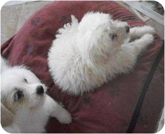 Poodle (Miniature) Mix Puppy for adoption in Viola, Tennessee - Harry & Spic