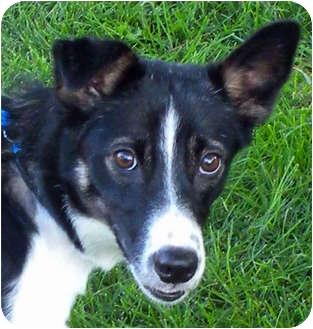 Border Collie Dog for adoption in Denver, Colorado - Bea