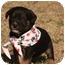 Photo 1 - Labrador Retriever Mix Puppy for adoption in Cranford, New Jersey - Luke