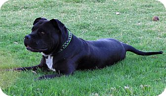 Staffordshire Bull Terrier Mix Dog for adoption in Phoenix, Arizona - KING