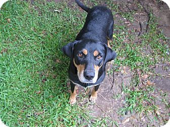 Shepherd (Unknown Type)/Hound (Unknown Type) Mix Dog for adoption in Baton Rouge, Louisiana - Lucy