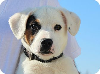 Jack Russell Terrier/Terrier (Unknown Type, Medium) Mix Puppy for adoption in Brattleboro, Vermont - Opie