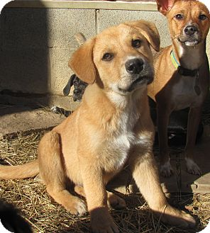 Shepherd (Unknown Type)/Labrador Retriever Mix Puppy for adoption in Hohenwald, Tennessee - Ace