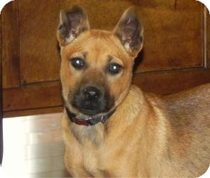 Shepherd (Unknown Type) Mix Puppy for adoption in Marlton, New Jersey - Roxy