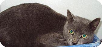 Domestic Mediumhair Cat for adoption in Mt. Vernon, Illinois - Maestro
