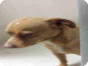 Chihuahua Mix Dog for adoption in Las Vegas, Nevada - River