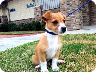 Dachshund/Terrier (Unknown Type, Small) Mix Puppy for adoption in Lake Worth, Texas - Baxter