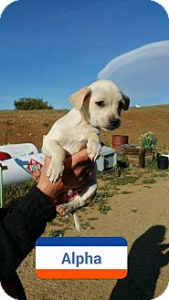 Chihuahua Mix Puppy for adoption in Rosamond, California - Alpha