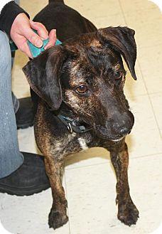 Plott Hound/Labrador Retriever Mix Dog for adoption in Cottageville, West Virginia - Twister