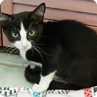 Adopt A Pet :: Prissy LaButt - The Colony, TX