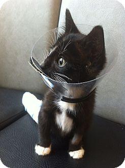 Domestic Shorthair Kitten for adoption in Brooklyn, New York - August