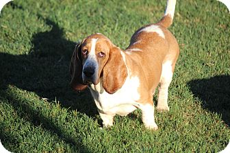 Basset Hound Dog for adoption in Greenville, South Carolina - Gypsy Rose