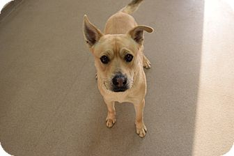Labrador Retriever/Shepherd (Unknown Type) Mix Dog for adoption in Bucyrus, Ohio - Harry The Hipster