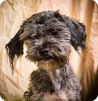 Shih Tzu/Maltese Mix Dog for adoption in Anna, Illinois - KALI